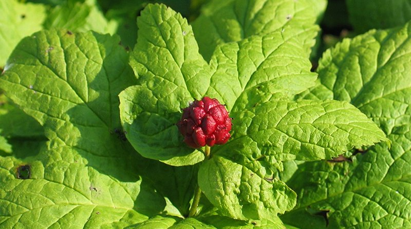 Goldenseal for UTI Symptoms | Kill Bacterial Infection